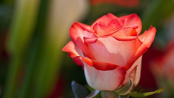 Yo soy la rosa de Sarón